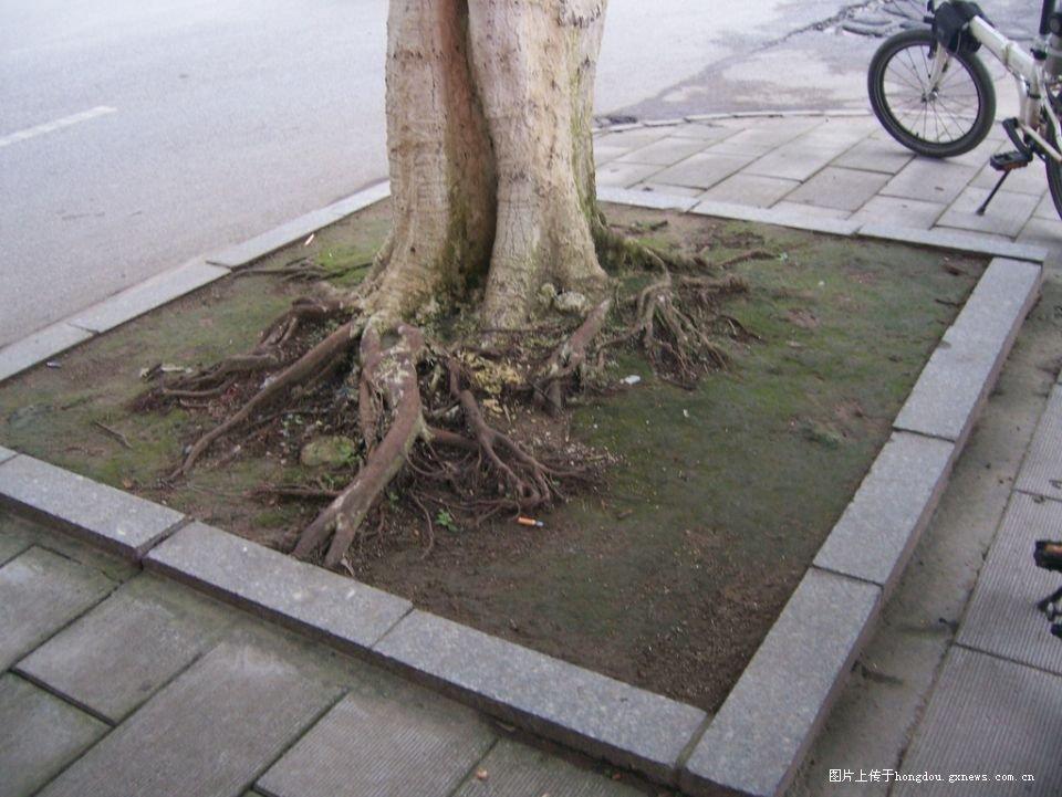 西江路上苦逼的路树