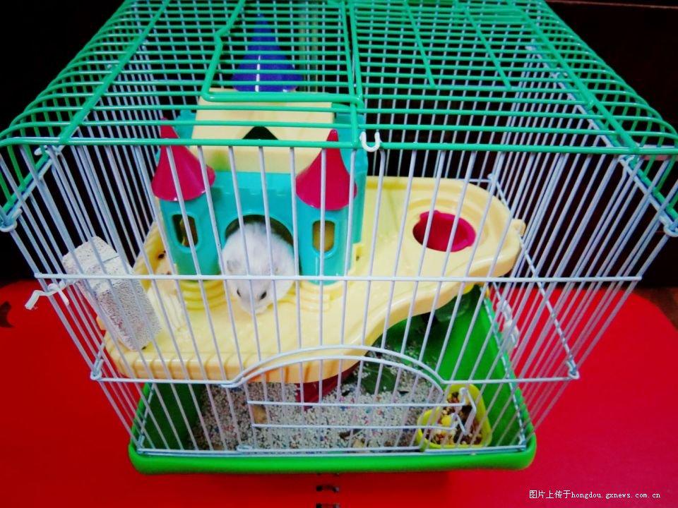 晒晒我家的小仓鼠