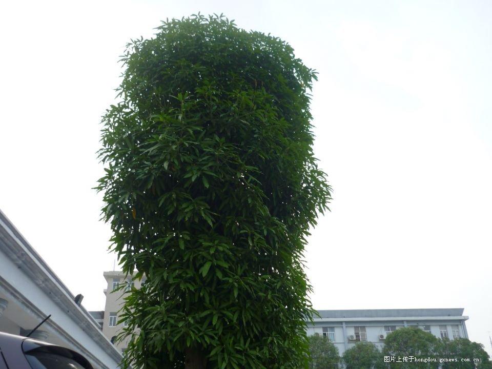 一看留在后面那两棵宛如柱子的天桃树,心情未免有点留恋.