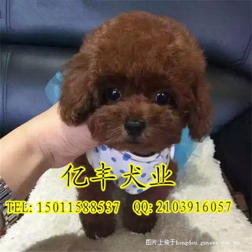 精品茶杯泰迪犬 纯种泰迪多少钱 纯种泰迪价格 完美售后图片