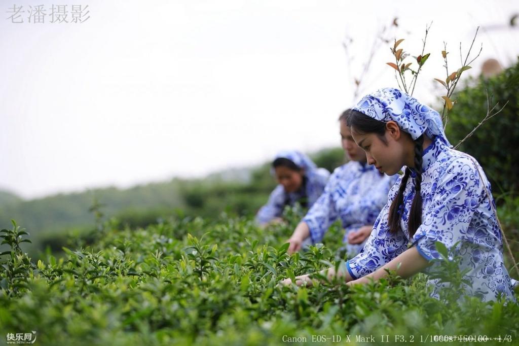 五一劳动节,贵港木格的采茶少女