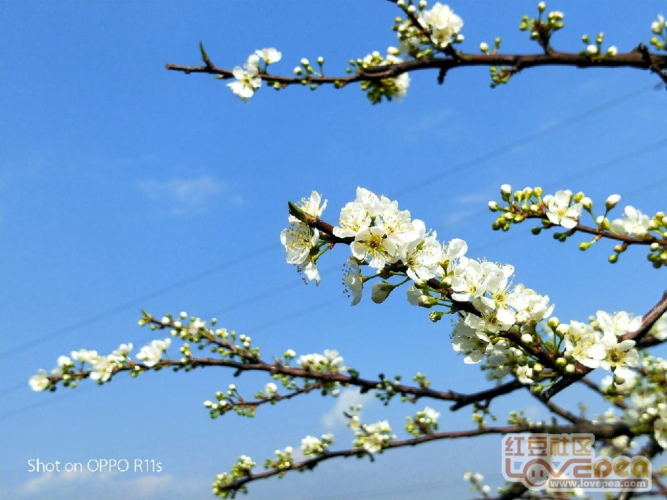 贺街李子花开在春节前