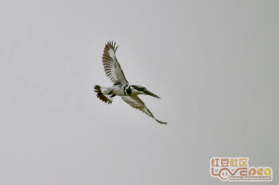 柳州沙塘湿地的一种水鸟--斑鱼狗