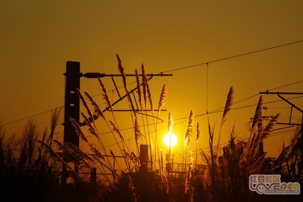 夕阳,铁路边的芦苇草