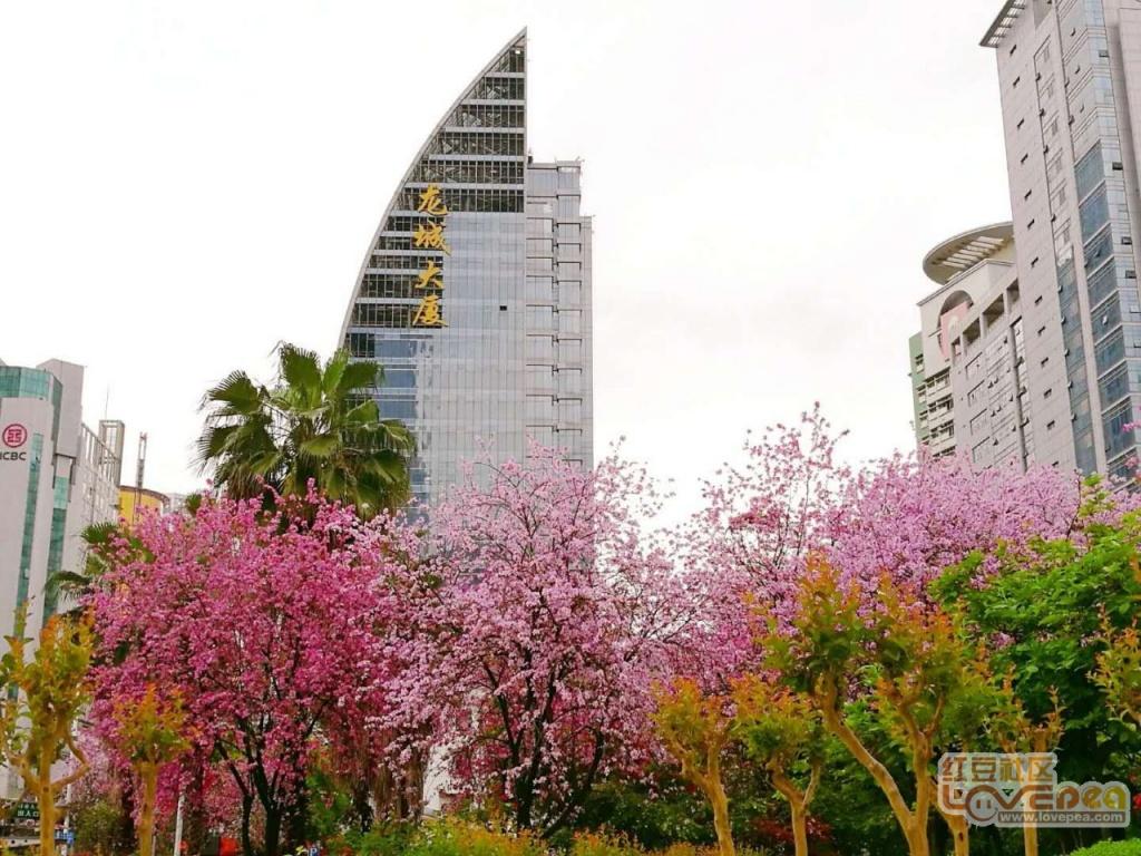 人民广场的紫荆花