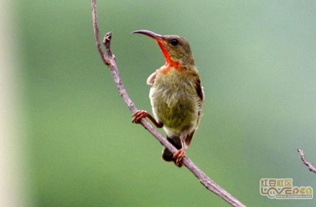 山风一阵吹过来,扶桑花开鸟欢唱