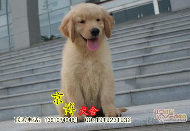 出售美系枫叶系金毛犬 赛级金毛多少钱一只 金毛图片