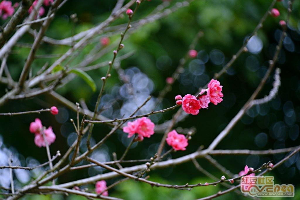 桃花盛开,愿你安好