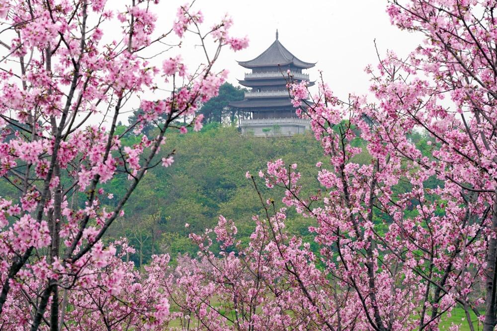 青秀山樱花园