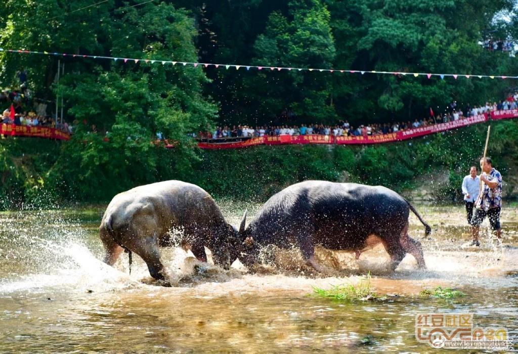 柳州岜团斗牛