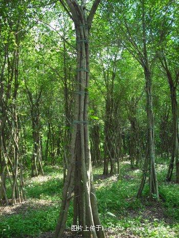 南宁市武鸣区锣圩镇政府非法铲除农民树木|掌