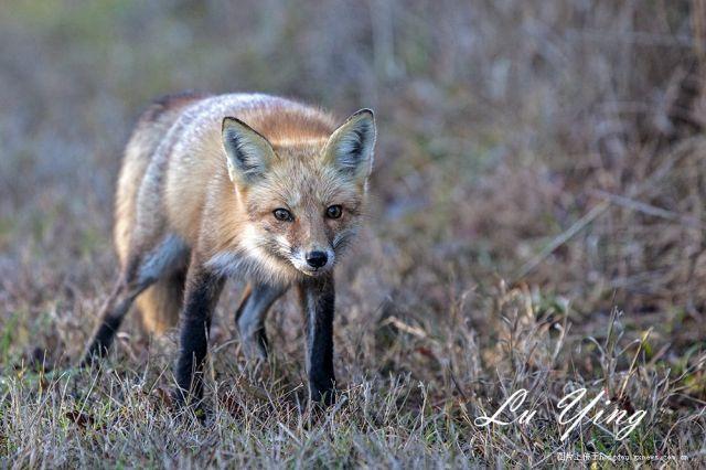 在美国公路上遇见野生狐狸