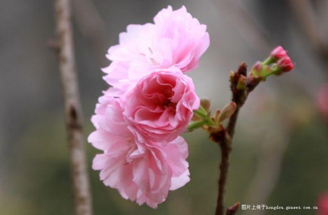 又是一度樱花开