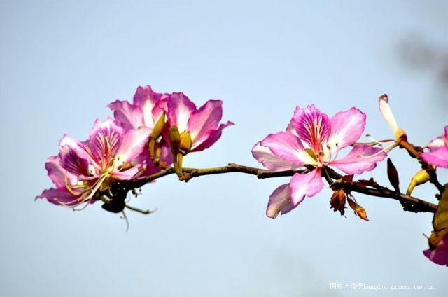 紫荆花,红棉花。