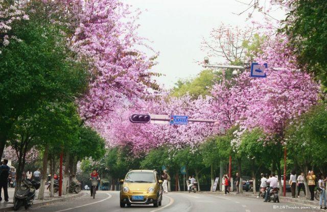 紫荆花开满柳州城 340桌百家宴