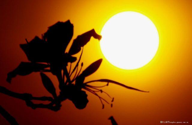 朝阳,紫荆花PP