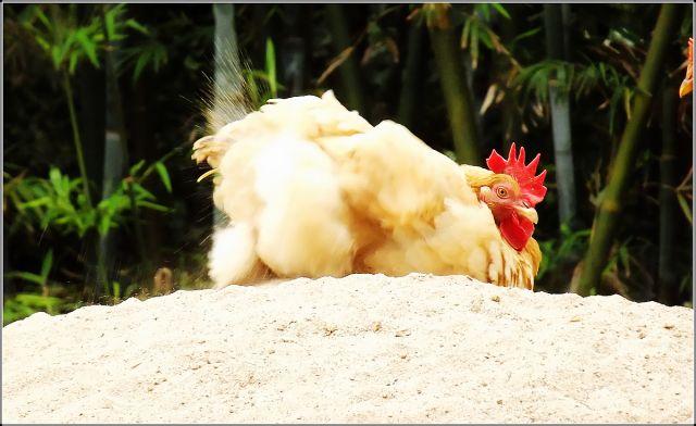 雄鸡一鸣天下知