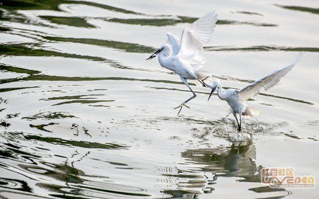 白鹭翔游动生气 清明景和正春光