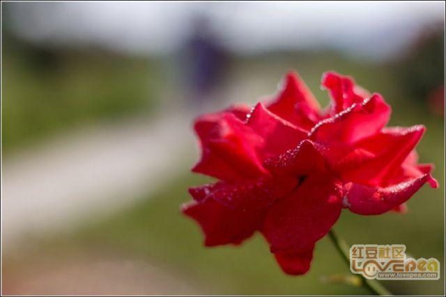 520,玫瑰花