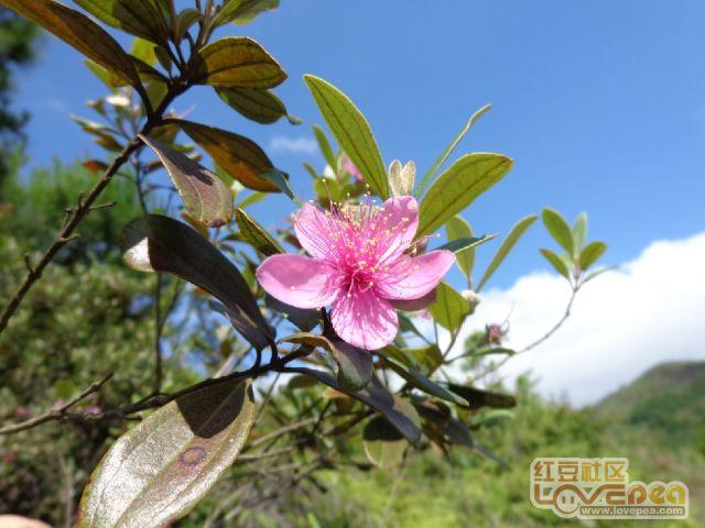 稔子树花开