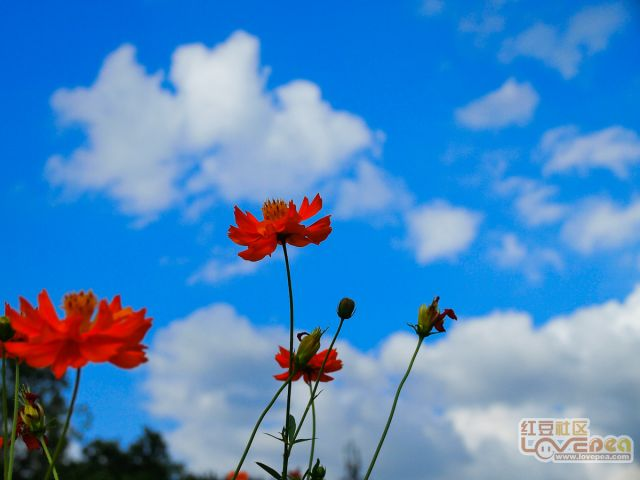 蓝天、白云、花