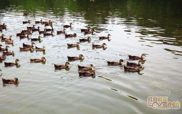 半亩方塘吵鸭鸭