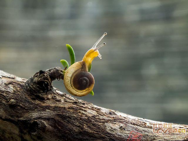 ▲ 雨后的小蜗牛 ▲
