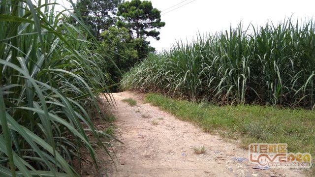 家乡门前甘蔗绿