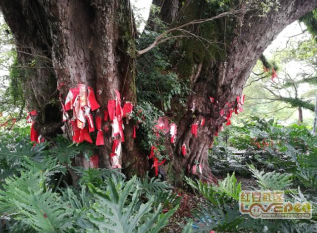 千年古榕树