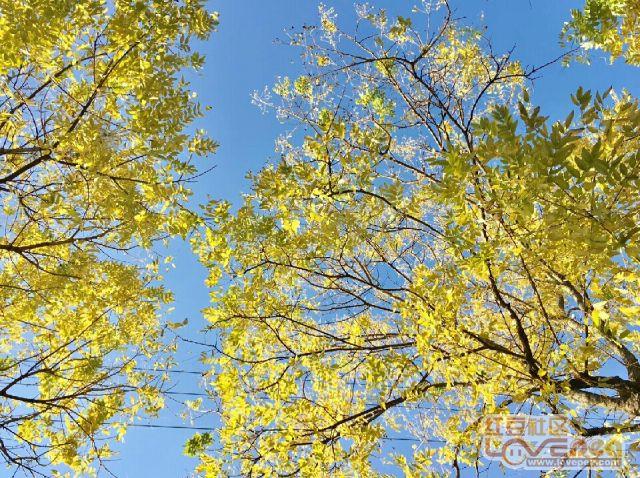 秋意浓浓,黄叶映蓝天