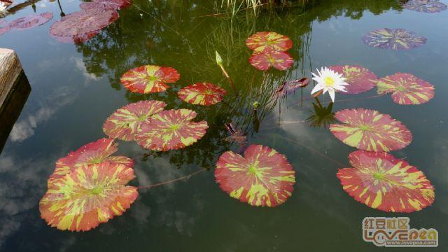 莲花朵朵开 好事自然来