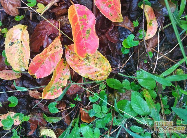 雨天的秋枫树