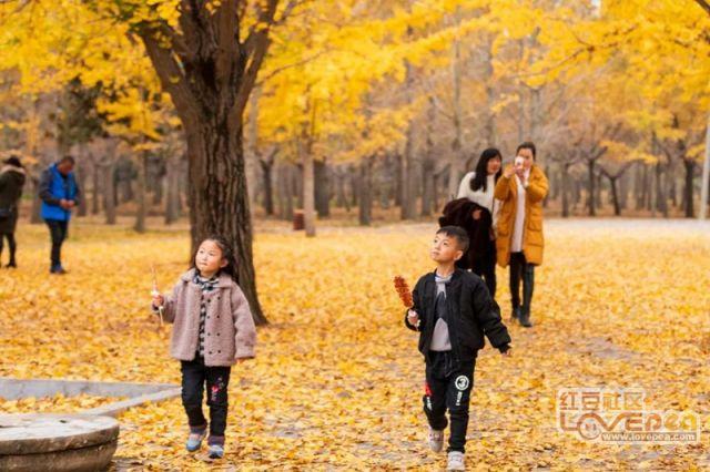 邳州金黄的银杏