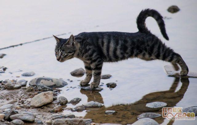 偶然碰到一对情侣猫