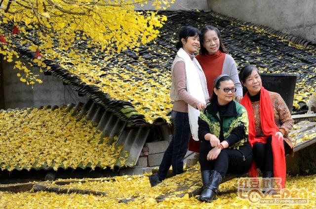 广西最大的银杏皇后