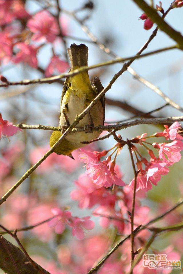 樱花-小鸟-蜜蜂