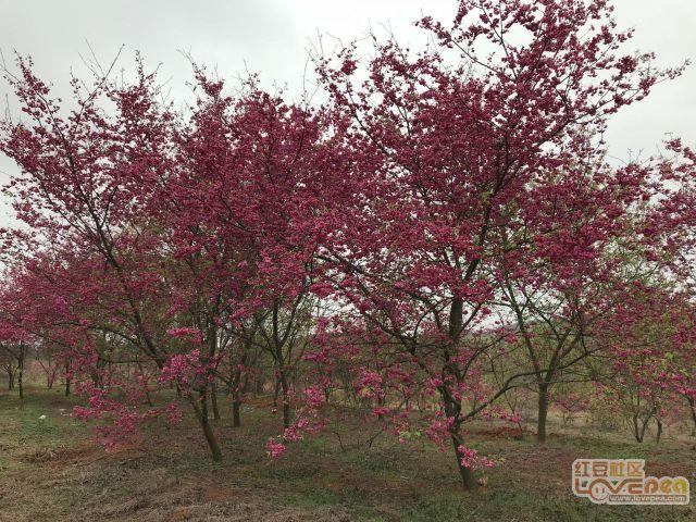 园里的樱花盛开了