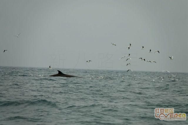 斜阳岛看鲸鱼