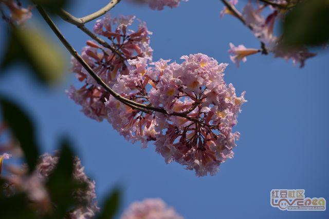 紫风铃木花