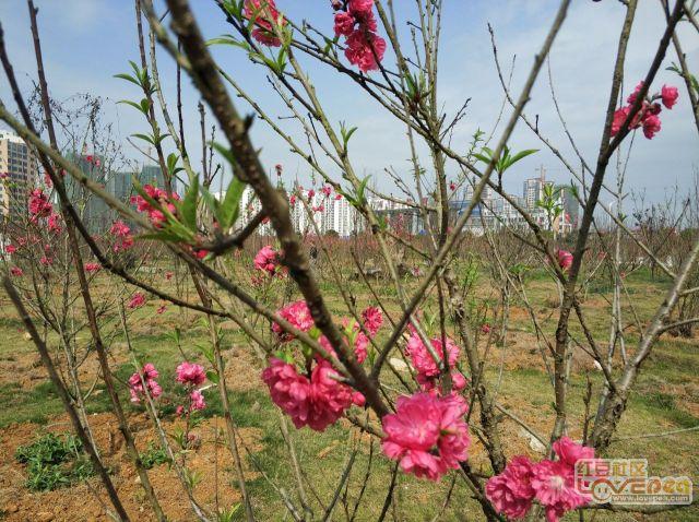 阳春二月崇左桃花园