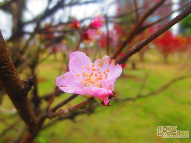粉红色桃花更迷人