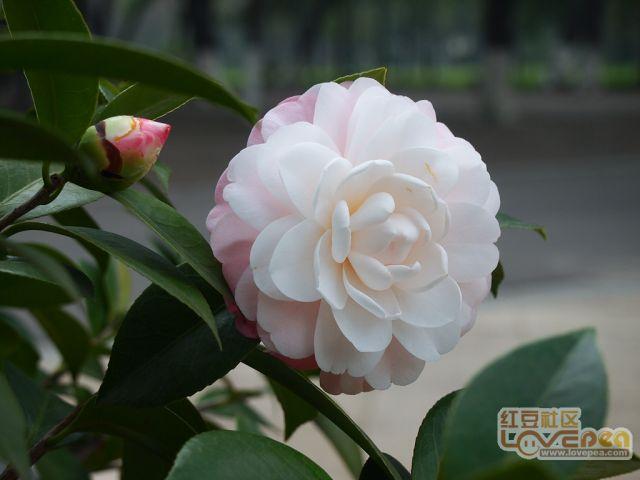 漂亮的茶花