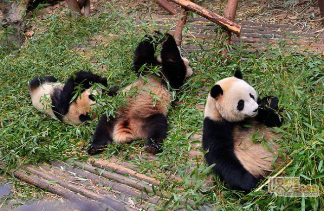 国宝大熊猫