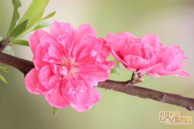 还是故乡防城桃花最美
