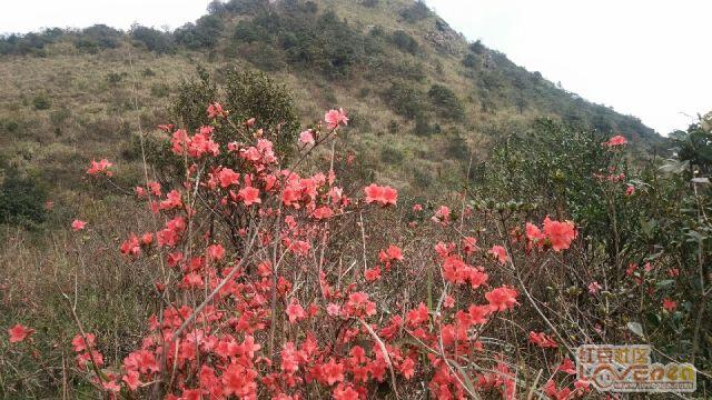 山顶上的杜鹃花盛开了