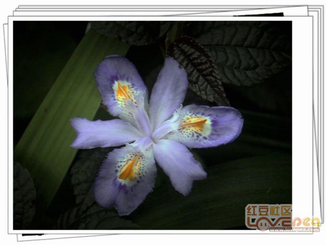 蝴蝶花开美美哒