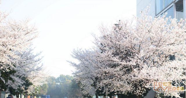 三月的樱花漫天飞舞