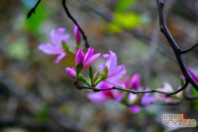 柳州紫荆花