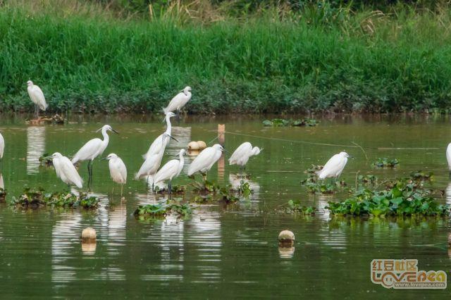 玫瑰湖畔之鹤舞沙洲