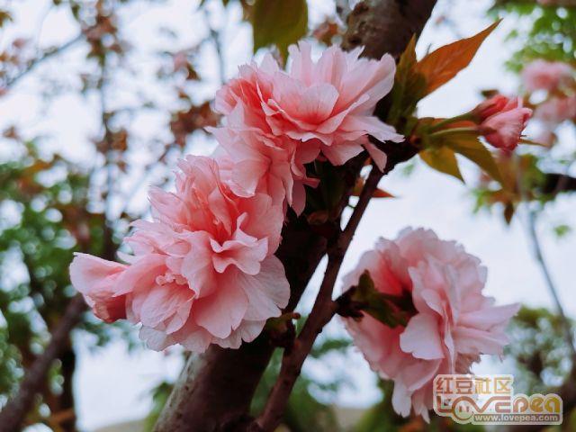 樱花随手拍